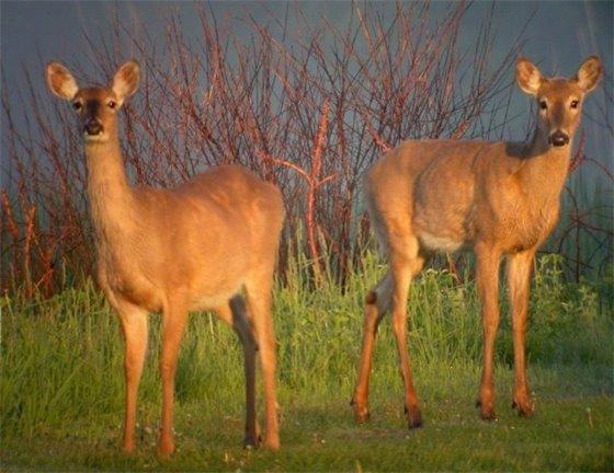 Deer at Nelson Lake