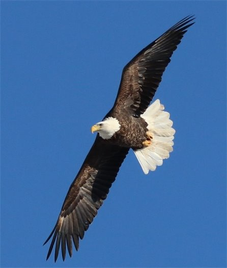 Bald Eagle over Batavia