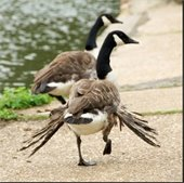Don't feed the geese