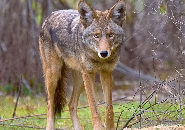 Coyote Website Photo